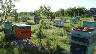Выравниваю пасеку путём расплода 18.05.2017 пчела