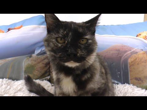 Piękna Elena - kotka do adopocji :)