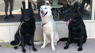Doylestown Dog Trainers ||| OLK9 Lehigh Valley ||| 1 Year Old GSD, Thor