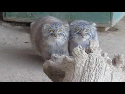 Pallas Cats kittens at 65 months