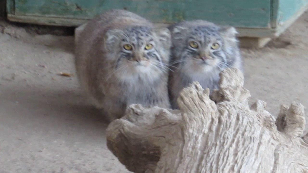 Pallas cats kittens at 65 months youtube pallas cats kittens at 65 months publicscrutiny Images