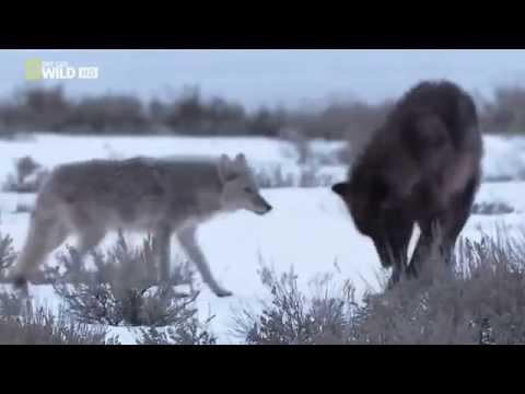 Wild animals attack:  Black bear vs wolf