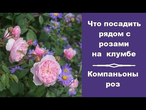 ❀ Что посадить рядом с розами на клумбе. Компаньоны роз