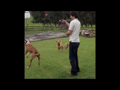 Jumping Boxer Dog