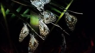 MIgrating Blue Tiger butterflies roosting on the Sunshine Coast