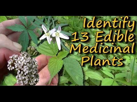 A Video Identification Guide To Edible & Medicinal Plants - Pt. 2