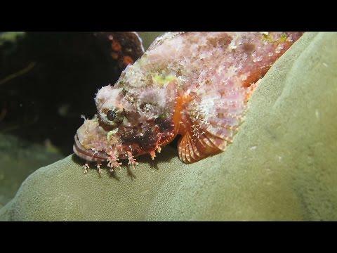 Scorpionfishes in Wakatobi, Indonesia