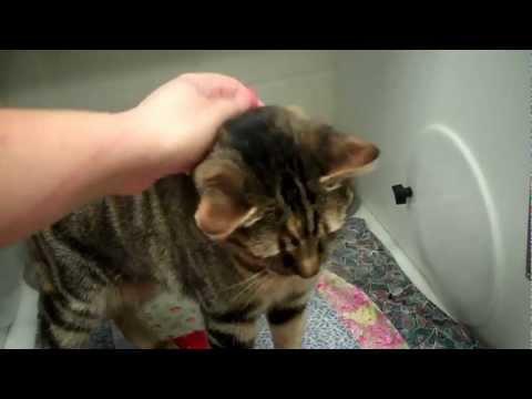 CTSAC: Cashmere (Purebred Manx Cat)