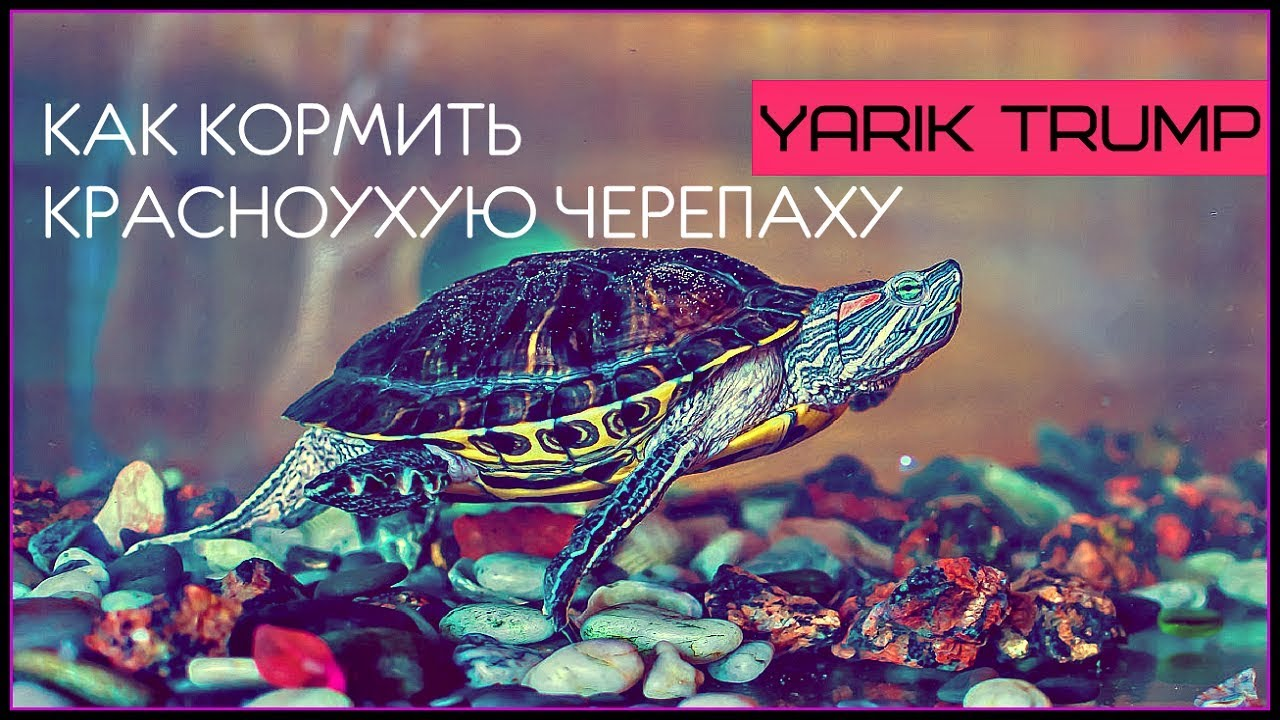 Чем кормить красноухую черепаху | ПТИЧКА.РУ | Яндекс Дзен | 720x1280