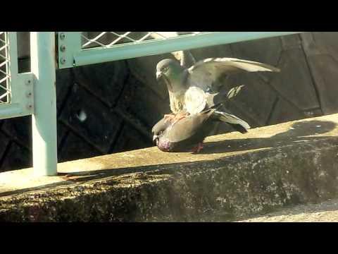 鳩の浮気がばれた瞬間!(The moment when the flirtation of the dove came out!)