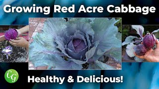 Fall Vegetables - Red Acre Cabbage