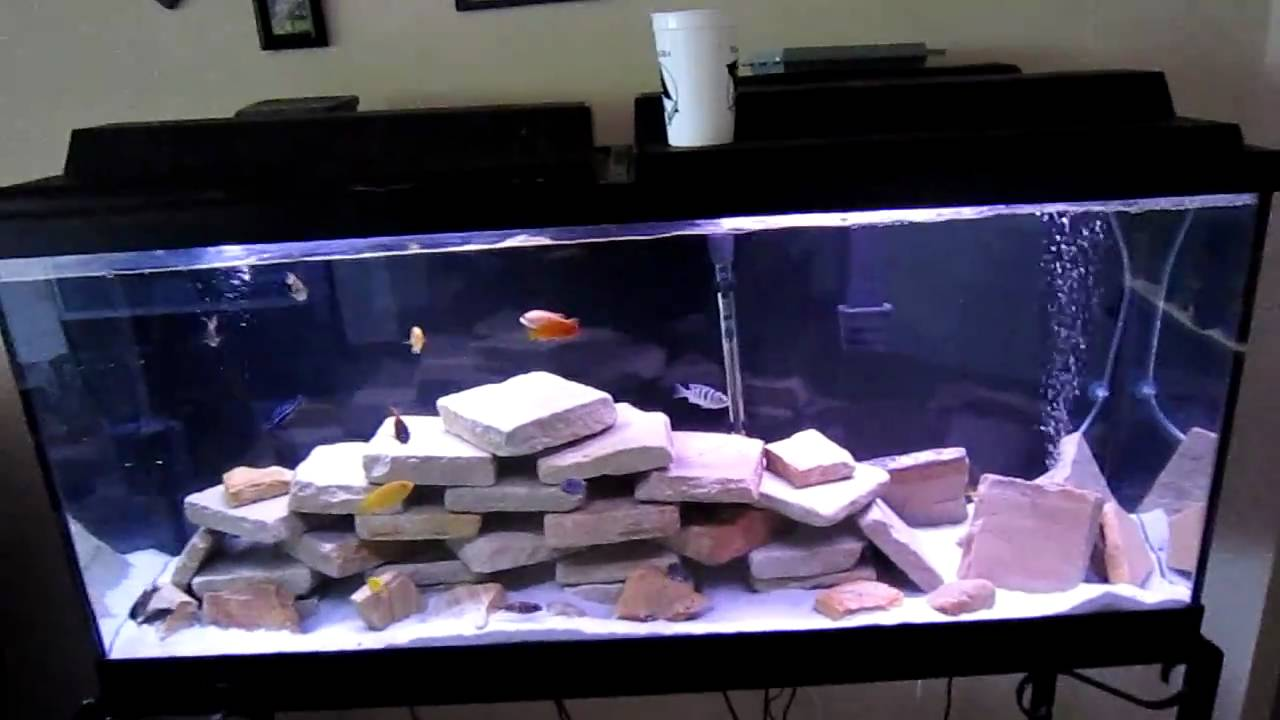 How To Malawi Cichlid Peacock Tank Youtube
