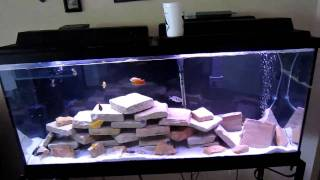 How To: Malawi Cichlid/Peacock Tank