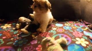 Shorkie Puppies Dallas Fort Worth Texas