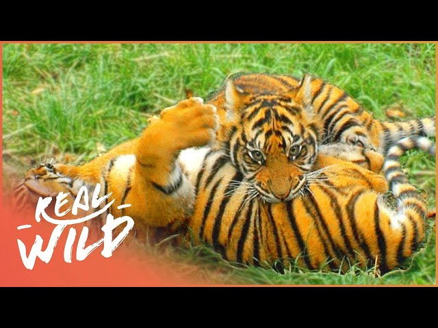 Not So Tiny Tiger Goes Back To College | The Zoo | Real Wild