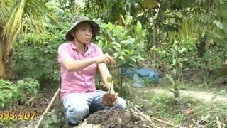 Kỹ thuật trồng cây ổi ra 1000 quả