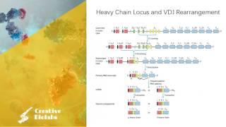 Antibody Diversity - Gene Rearrangement