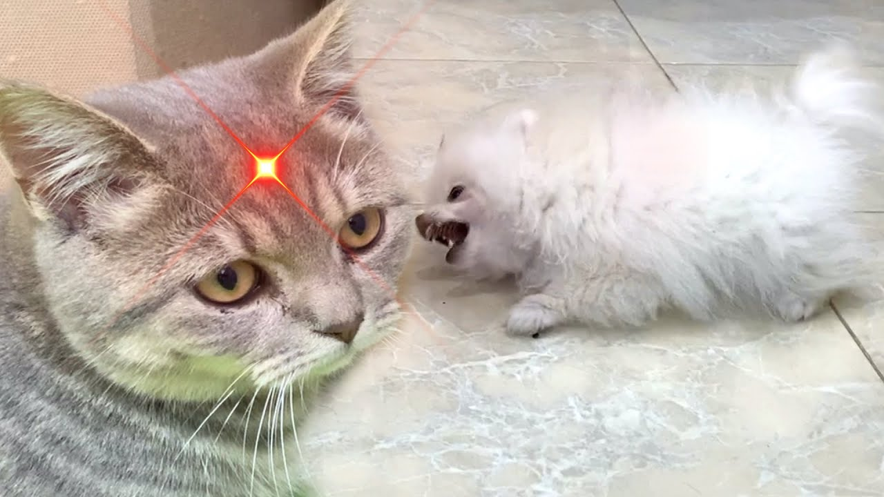 I don't like this point on my forehead! - Cat and puppy reaction