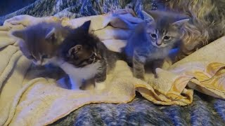 Adorable Kittens breed  Manx