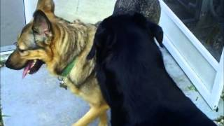 German Shepherd Vs Rottweiler Playing