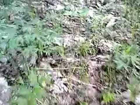 山菜採り「シドケ・もみじがさ」岩手県某山20130528