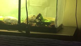 My Russian tortoise eating