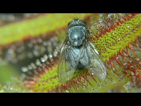 Хищное растение росянка ест муху. Drosera Дрозера. Венерина Мухоловка ест. Выставка в Одессе