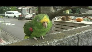 長寿と言われる大型鳥を飼う前に一度ご覧下さい。 約20分.