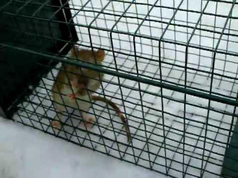 Ratte Lebend Gefangen Avi Youtube