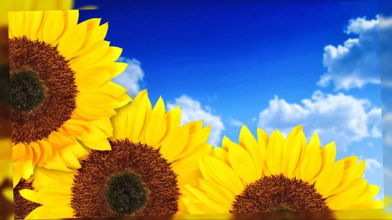 Flores de girasol fotos bonitas youtube - Fotos de flores bonitas ...