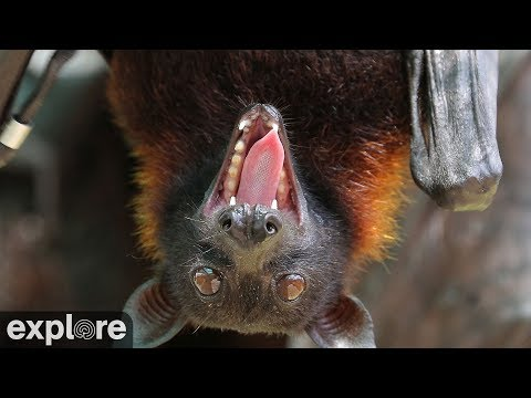 Vampire Bats - powered by EXPLORE.org
