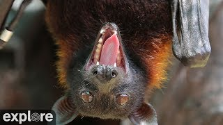 Vampire Bats - powered by EXPLORE.org thumbnail