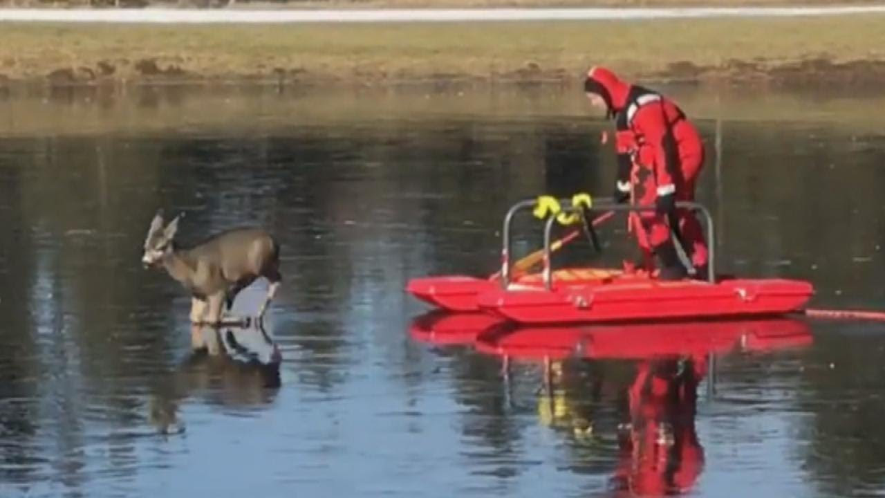 firefighters-help-deer-stuck-on-frozen-pond-get-back-to-land