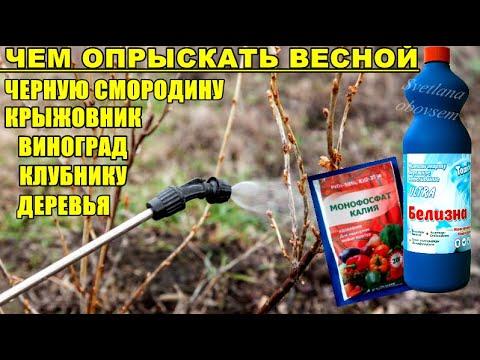 ЛЕЧЕБНО-ИСКОРЕНЯЮЩАЯ ОБРАБОТКА СМОРОДИНЫ,ДЕРЕВЬЕВ ВЕСНОЙ.ЕЩЕ В СССР ОБРАБАТЫВАЛИ ЭТИМ КОЛХОЗНЫЕ САДЫ