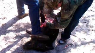 Marshmane Knife Hog Hunt Courtesy of Stones Guided Hunts