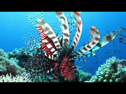 Lionfish Facts  Interesting Facts About Lionfish  Facts About Lionfish