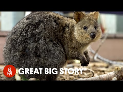 Quokka Selfies Helped Protect This Adorable Animal