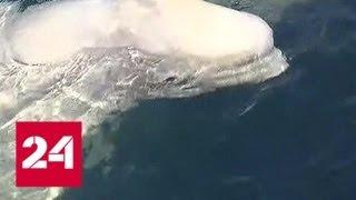 Косатки и белухи готовятся покинуть китовую тюрьму   Россия 24