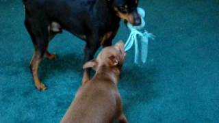 Min Pins, Miniature Pinschers Playing Tug Of War With A Toy