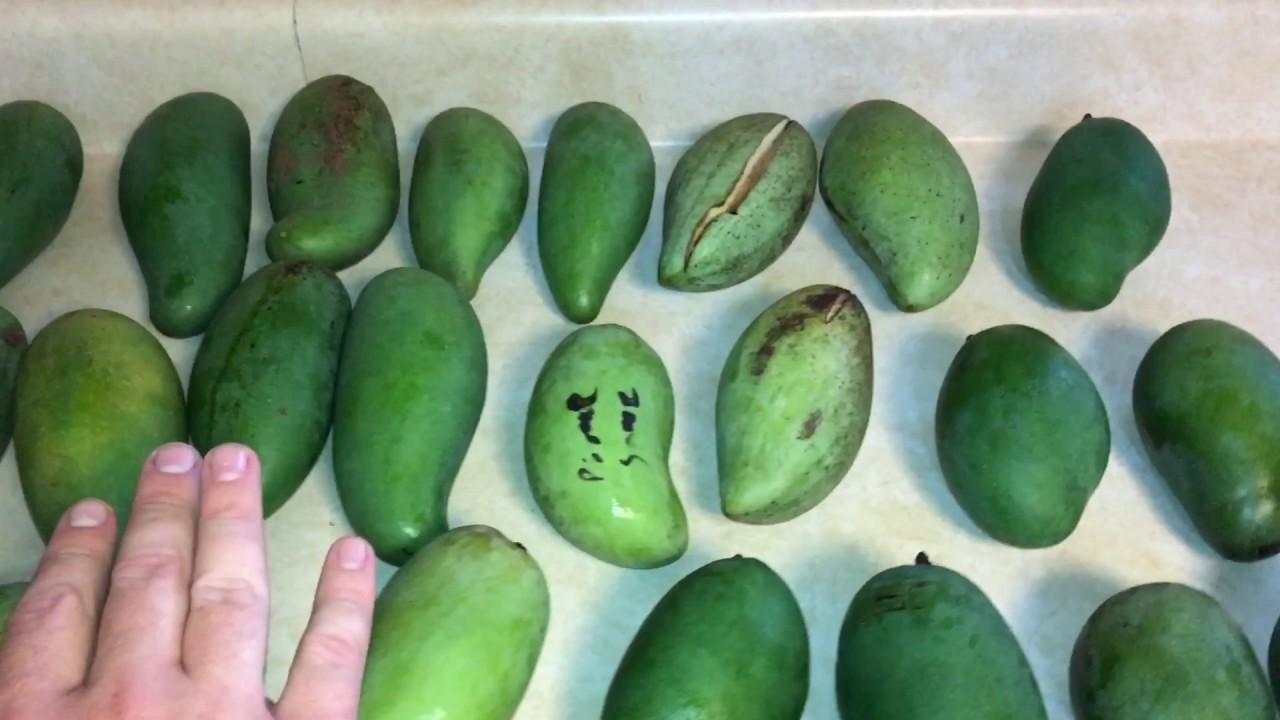 Thai Mangoes Youtube