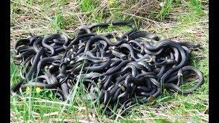 Змеи в подмосковном лесу. Московская область.