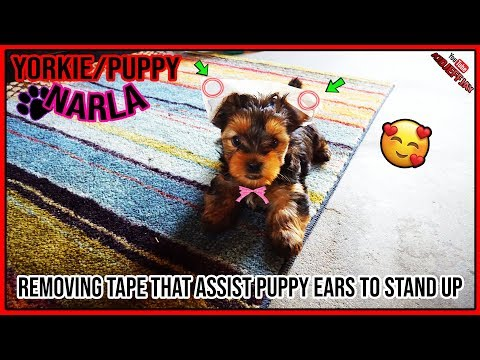 Yorkie Ears Tape Assistance Removal | Puppy Ears Stand Up 100% It Works