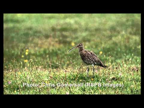 The cry of the Curlew