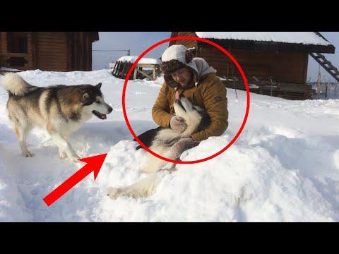 Лесник СПАС волчонка из капкана. Спустя несколько лет ВОЛК отплатил СПОЛНА