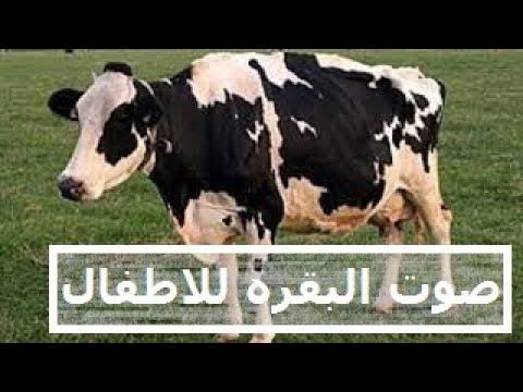 ما صوت البقرة موضوع