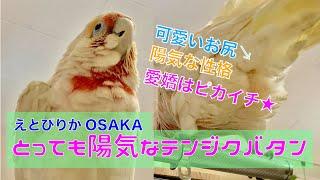 【えとぴりかOSAKA】とっても陽気!遊び上手なレアバード【テンジクバタン】