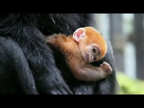 Meet tiny baby monkey named 'Pumpkin'