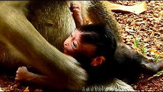 Heartbreaking! Newborn monkey Toni cry loudly cos mom not give milk baby