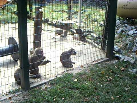 Monkeys at Tiger World in Rockwell NC  YouTube