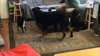 Doggie Doorbell Training